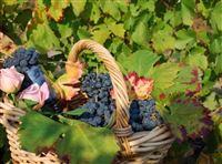 Vinum - фестиваль красного вина в Альбе